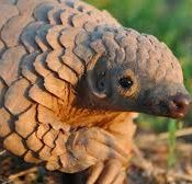 la critique du pangolin
